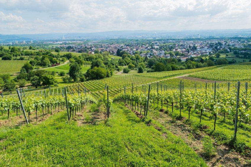 Grapevines in Weil am Rhein